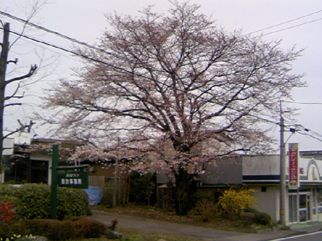 お店の前桜 5分咲き