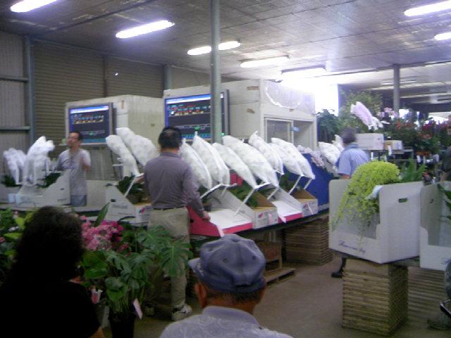 花市場の風景 只今マリーゴールド苗1個40円です