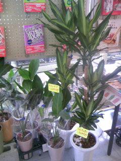 観葉植物 ドラセナ入荷
