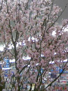 店内に東海桜満開でーす