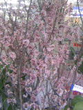 切花 桜の木