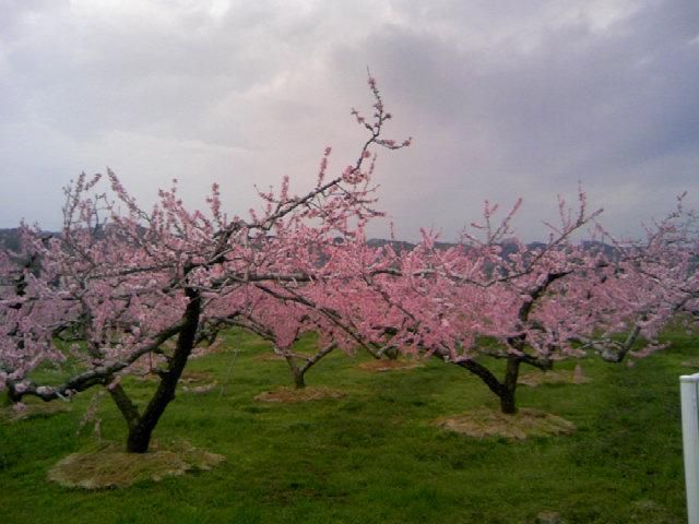 梅の次は 桃の花です