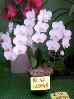 胡蝶蘭 3F 1500円
