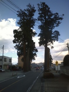 こちらも大木