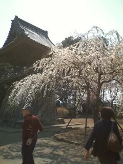 慈眼寺 枝垂れ桜