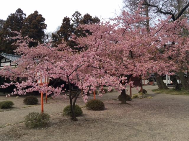 寒桜だろうか